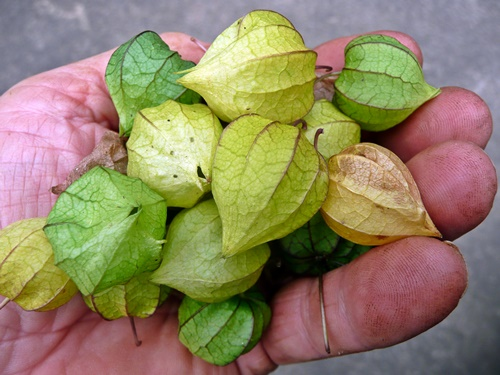 RIPE GROUND CHERRIES